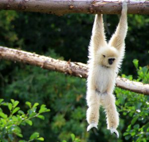 white-gibbon-hanging-tree-branch-jpg-638x0_q80_crop-smart